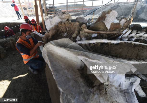 Paleontologists of the National Institute of Anthropology work on the preservation of the skeletons of mammoths found during a recent excavation, at...