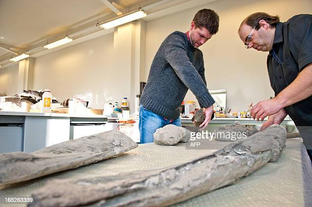 Paleontologists Olivier Lambert and Stijn Goolaerts pose on April 2, 2013 in front of parts of the fossil of a 3,5 million year old bowhead whale at...