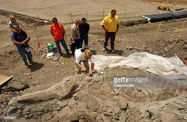 Paleotologist David Alexander excavates the bones of a five to sevenmillionyearold baleen whale that he discovered in Prima Deshecha Landfill May 17...