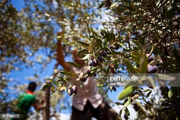 Palestine, Jenin, Burqin, olive harvest