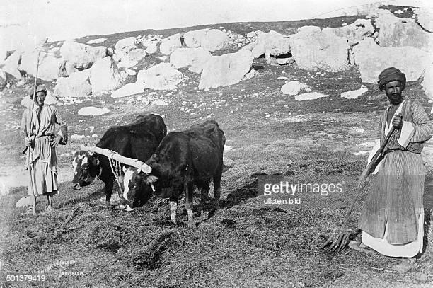 Arab peasants harvesting the grain probably in the 1910s