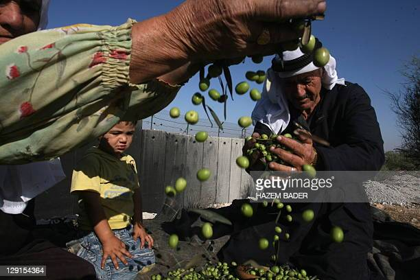 Palestinian alSweity family clean harvested olives next to a section of Israel's controversial separation barrier in the village of Deir Samet near...