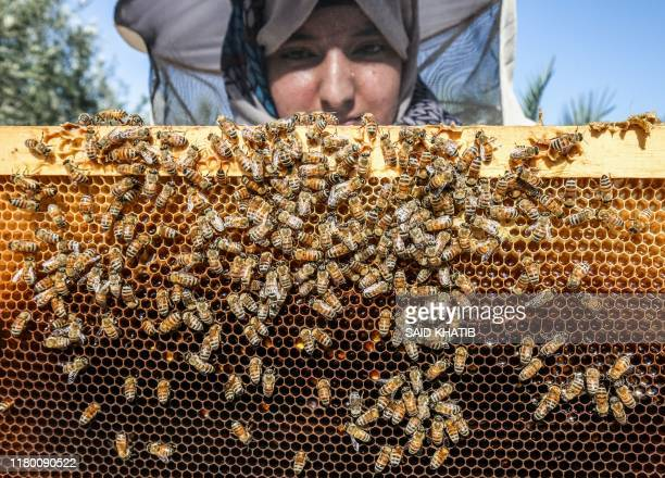 Palestinian beekeeper Heba Abu Sabha inspects a frame from a beehive at her bee farm in the Palestinian village of Khuzaa in the eastern part of Khan...