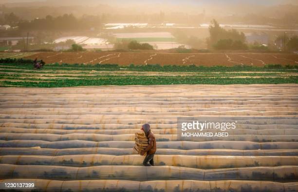 Palestinian carries wooden wooden boxes for harvested strawberries at a field in the town of Beit Lahia in the northern Gaza Strip on December 15,...