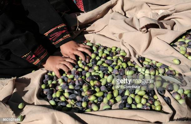 A Palestinian child dressed in traditional clothes help harvesting olives in Khan Yunis in the southern Gaza Strip on October 11 2017 / AFP PHOTO /...