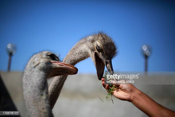 Palestinian children feed ostriches during summer camp activities at a public park in Gaza City on June 12 2013 AFP PHOTO/MOHAMMED ABED