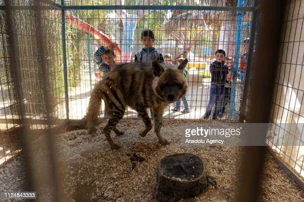 Palestinian children look through the fence of a hyena cage at the Rafah Zoo in tGaza City Gaza on February 13 2019 Gaza's only animal care practice...