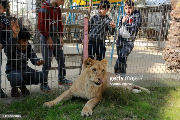 Palestinian children look through the fence of a lion cage at the Rafah Zoo in tGaza City Gaza on February 13 2019 Gaza's only animal care practice...