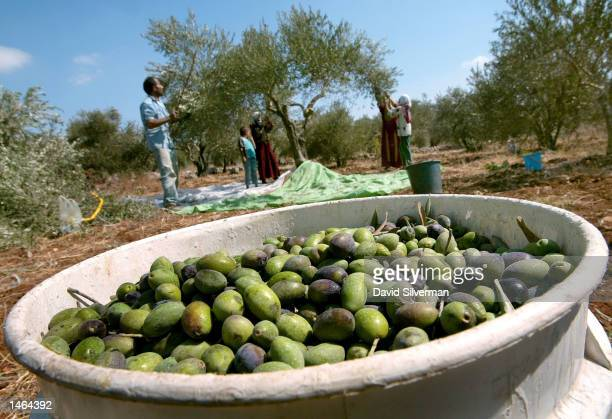 Palestinian family picks olives at the start of their annual olive harvest in their groves October 8, 2002 in Awarta village near the West Bank...