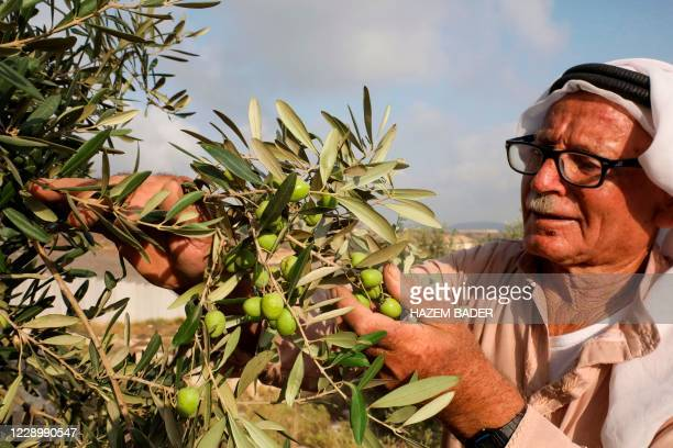 Palestinian farmer Abdel Hamid Sweity harvests olives from his trees in the West Bank village of Beit Awwa southwest of Hebron, near the Israeli...