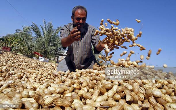 A Palestinian farmer checks a crop of peanuts during the harvest in a field outside the southern Gaza Strip town of Rafah near the border with Egypt...