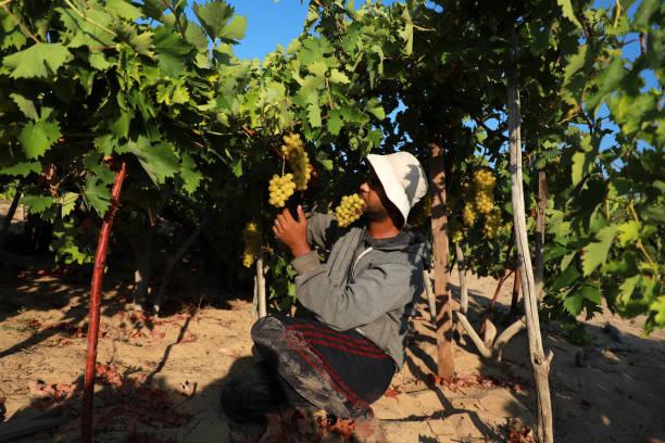 GZA: Agriculture In Palestine