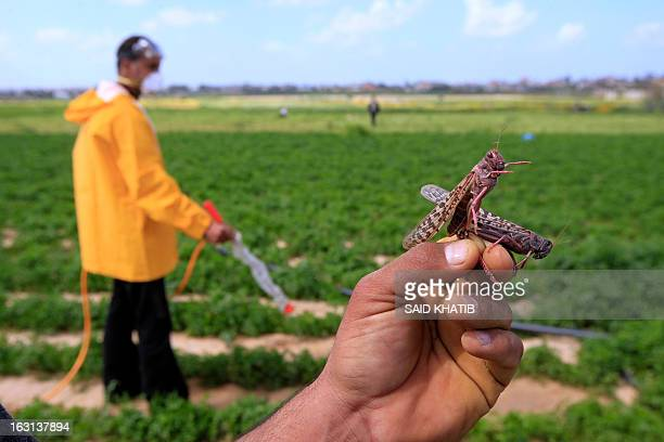 A Palestinian farmer displays a locust at a farm in Khan Yunis in the southern Gaza Strip on March 5 2013 According the UN Food and Agriculture...