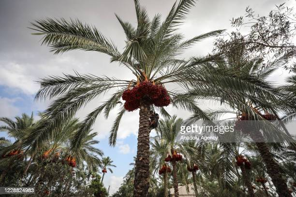 Palestinian farmer harvests date palms with the help of a rope after Ministry of Agriculture announced the opening of the season for the palm harvest...