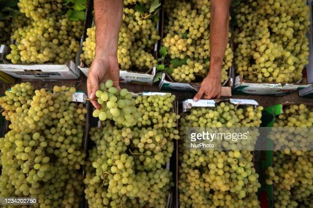 Palestinian farmer harvests grapes during the harvest at a vineyard in Gaza City on July 26, 2021.