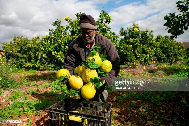 A Palestinian farmer packs pomelo at a field in the Jordan Valley in the Israelioccupied West Bank on February 1 as he prepares to sell the produce...