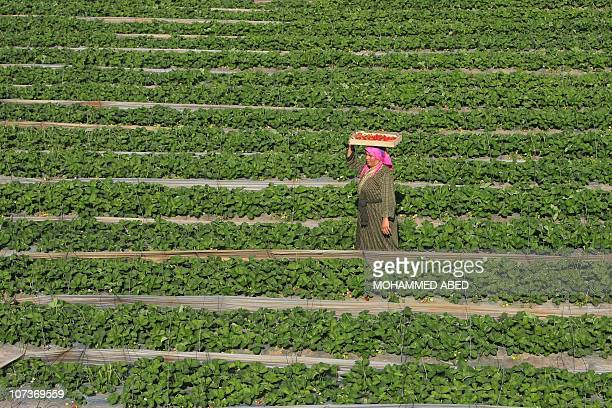 A Palestinian farmer picks strawberries for export at a farm in Beit Lahia in the northern Gaza Strip on November 29 2010 Gaza farmers hope to send...
