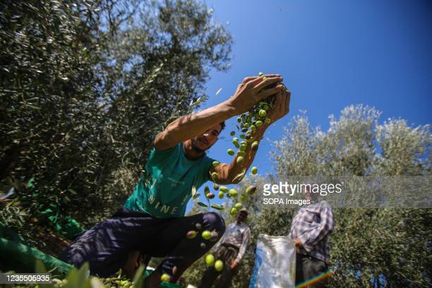 Palestinian farmer purifies olives after harvesting in the town of Al-Zawaideh in the central Gaza Strip. Palestinian farmers began to harvest olives...