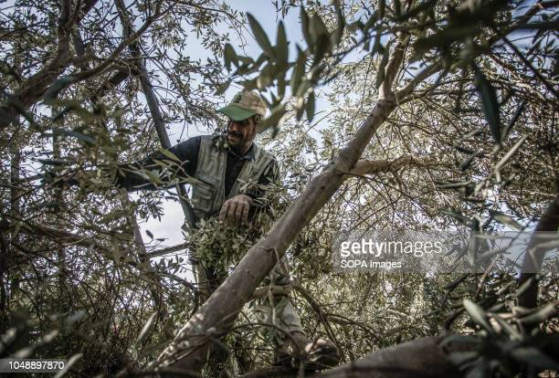 Palestinian farmer seen picking olives in the olive grove In AlBureij refugee camp south of the Gaza Strip it is time for many Palestinian farmers to...
