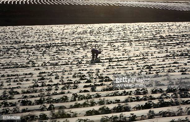 A Palestinian farmer tends to his land in the village of alNassariyah east of Nablus in the occupied West Bank on March 5 2016 / AFP / JAAFAR ASHTIYEH