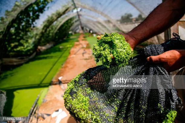 Palestinian farmer Wael Musalam holds a handful of Azolla aquatic ferns grown in a greenhouse at a farm in Beit Lahia in the northern Gaza Strip on...