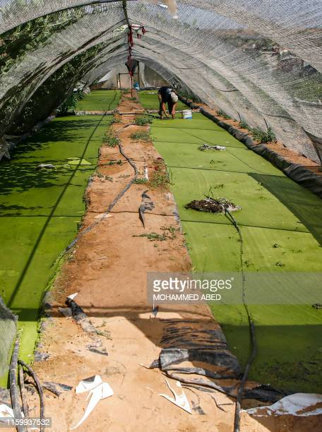 Palestinian farmer Wael Musalam inspects growing Azolla aquatic ferns grown in a greenhouse at a farm in Beit Lahia in the northern Gaza Strip on...