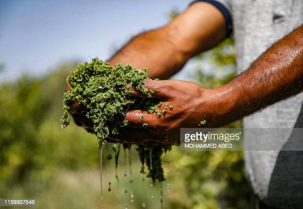 Palestinian farmer Wael Musalam scoops a handful of Azolla aquatic ferns grown in a greenhouse at a farm in Beit Lahia in the northern Gaza Strip on...