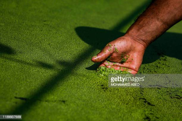Palestinian farmer Wael Musalam skims his hand through a pond of growing Azolla aquatic ferns in a greenhouse at a farm in Beit Lahia in the northern...