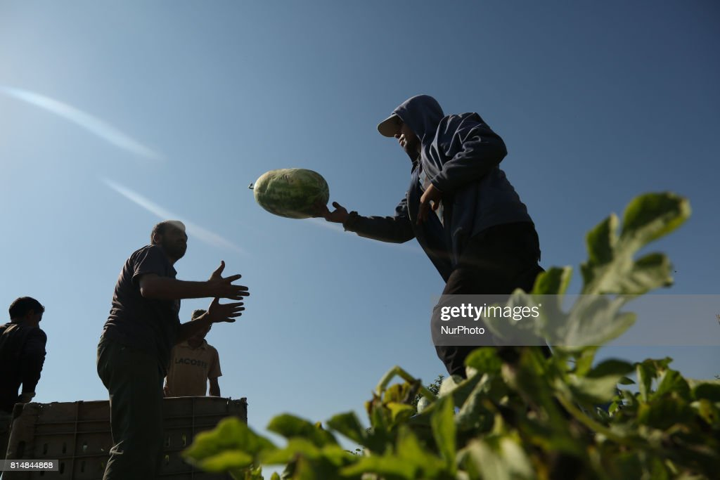 palestinian farmers collect watermelon from their field located near the border with Israel in the northern Gaza Strip on July 15, 2017.