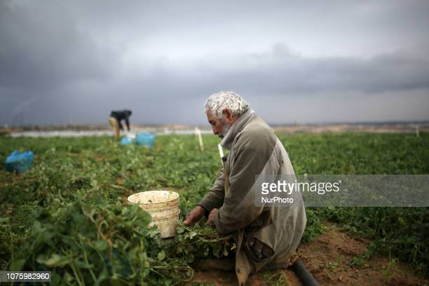 Palestinian farmers harvest Peas at a farm in Beit Lahia in the northern Gaza Strip on December 30 2018