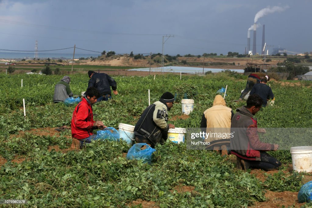 Palestinian Farmers Harvest Peas In Gaza Strip : News Photo