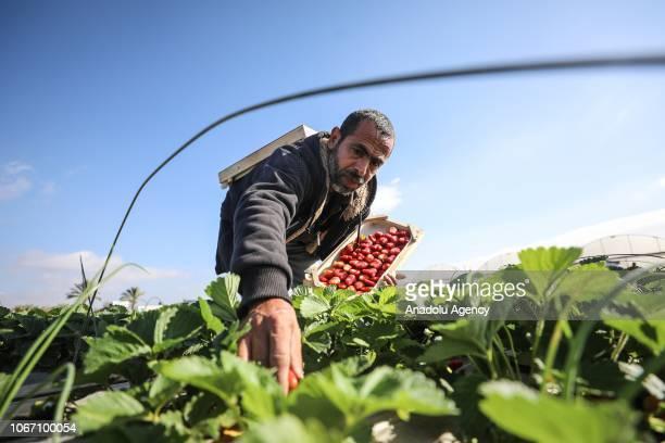 Palestinian farmers harvest strawberries in Beit Lahia Gaza on December 1 2018