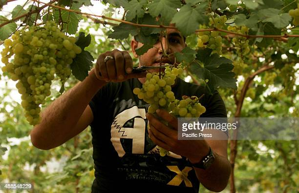 Palestinian farmers harvesting grapes from a cultivated field near the Israeli border, East of the town of Rafah in the Southern Gaza Strip.