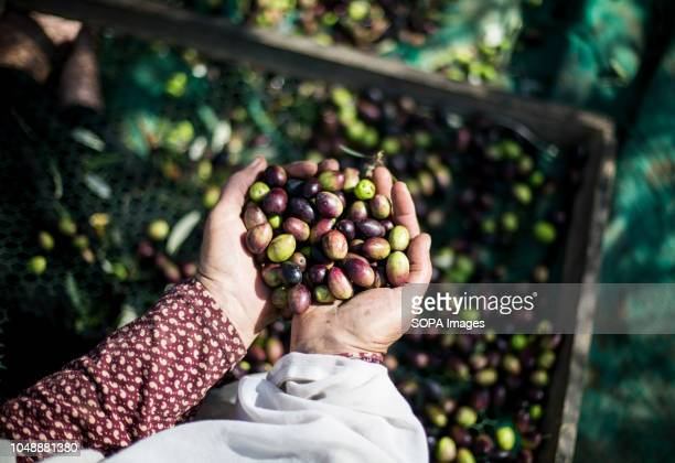 Palestinian farmers pick olives in the olive grove In AlBureij refugee camp south of the Gaza Strip it is time for many Palestinian farmers to start...