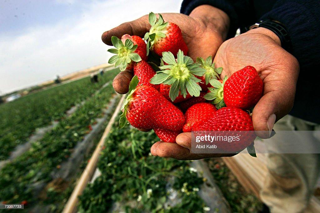 Palestinian Farmers Harvest Strawberry : News Photo