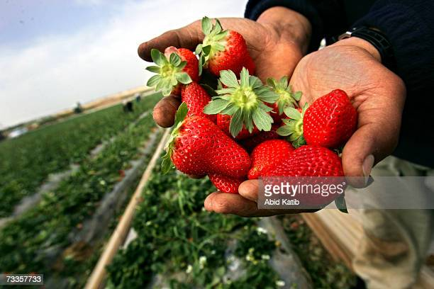Palestinian farmers pick strawberries in their farm on February 17 2007 in the Beit Lahia town northern Gaza Strip Palestinian farmers export...