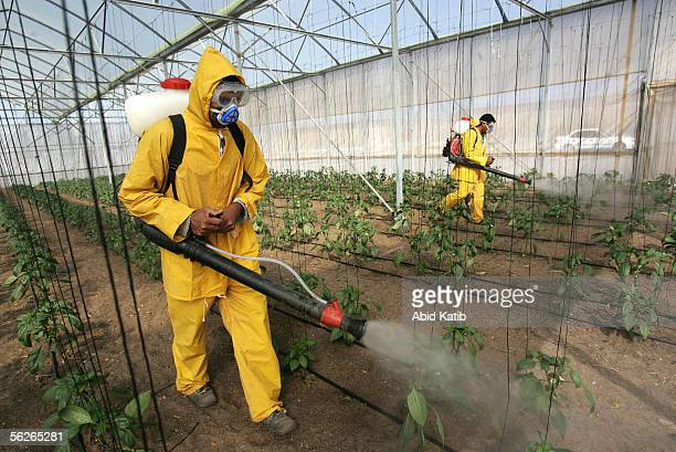 Palestinian farmers spray insecticide as they work in a greenhouse located in the former Jewish settlement of Netsarem November 23 2005 south of Gaza...
