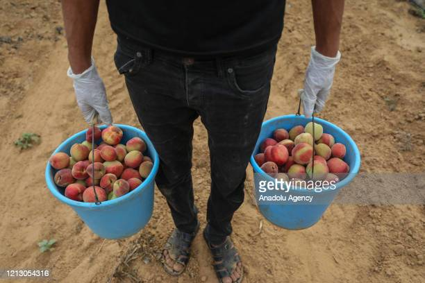 Palestinian farmers wearing mask and glove as a measure against coronavirus pandemic, collect peaches into buckets in Khan Yunis, Gaza on May 14,...