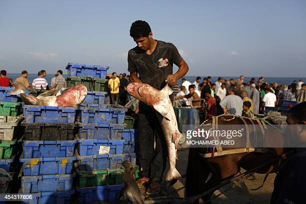 A Palestinian fisherman loads a cart with baby sharks at Gaza's seaport in Gaza City early on August 29 2014 Israel and Hamas accepted an Egyptian...