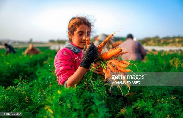 Palestinian girl harvests carrots at a field in the town of Beit Lahia in the northern Gaza Strip on December 15, 2020.