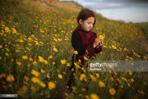 A Palestinian girl pick wild mustard flowers which grow in untilled fields across the Gaza Strip on March 10 as the official start of spring is...