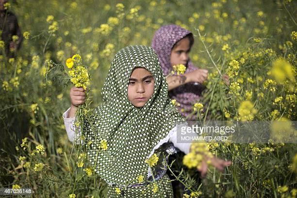 Palestinian girls pick wild mustard flowers which grow in fields across the Gaza Strip on March 20 as the official start of spring is marked by the...