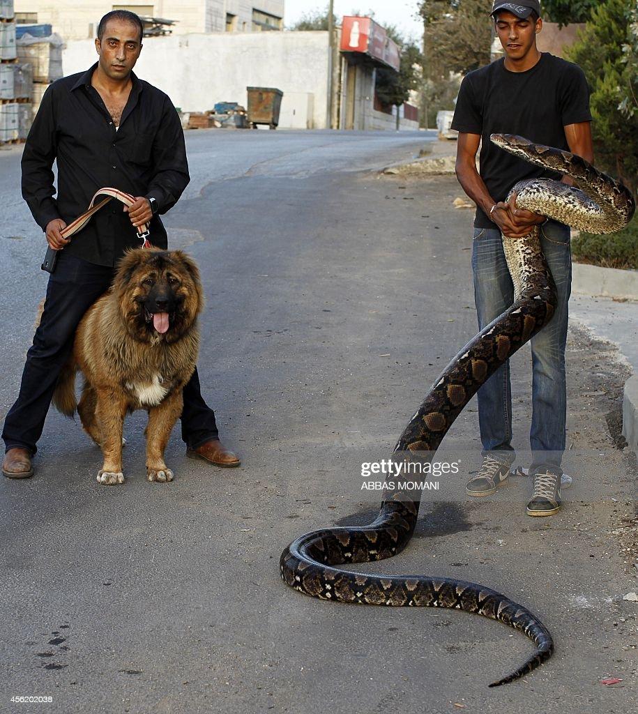 PALESTINIAN-FEATURE-ANIMALS-SNAKE : News Photo