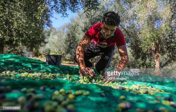 Palestinian man collects olives under an olive tree after harvesting in the town of Al-Zawaideh in the central Gaza Strip. Palestinian farmers began...