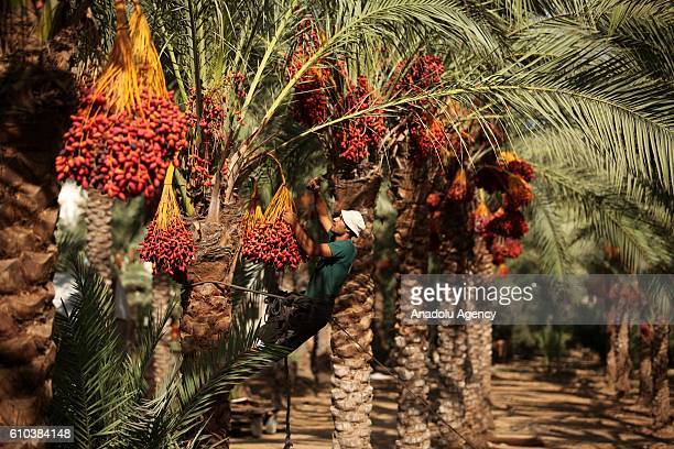 Palestinian man picks date palms after they picked them during the harvesting season in Deir Al Balah town of Gaza City Gaza on September 25 2016
