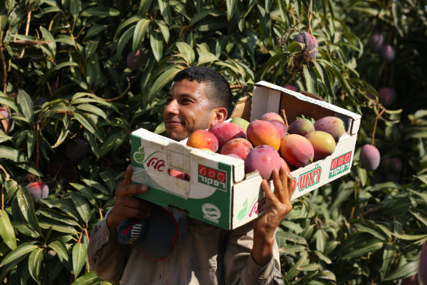 A Palestinian Man Picks Mango At His Field During The Harvest Season In Center Of