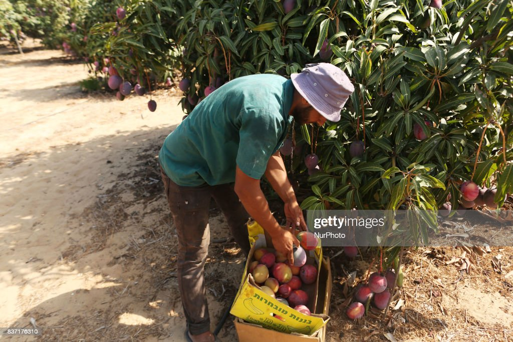 A Palestinian man picks Mango at his field during the harvest season in the center of Gaza strip, on August 22, 2017.