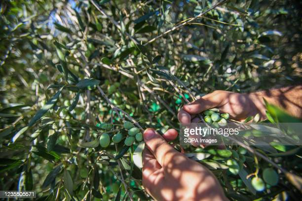 Palestinian man picks olives from an olive tree in the town of Al-Zawaideh in the central Gaza Strip. Palestinian farmers began to harvest olives at...
