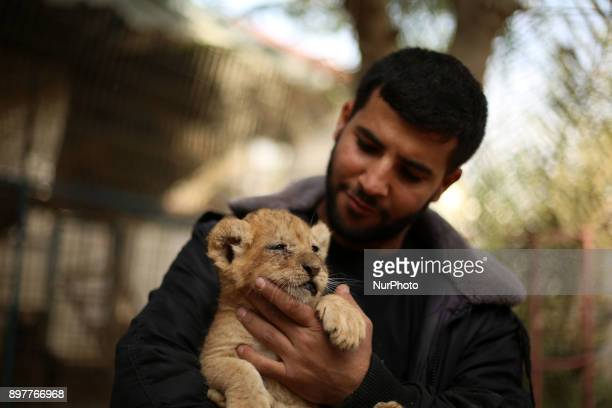 A Palestinian man plays with lion cubs at a zoo in Rafah in the southern Gaza Strip on December 23 2017 An official told AFP the three lion cubs were...