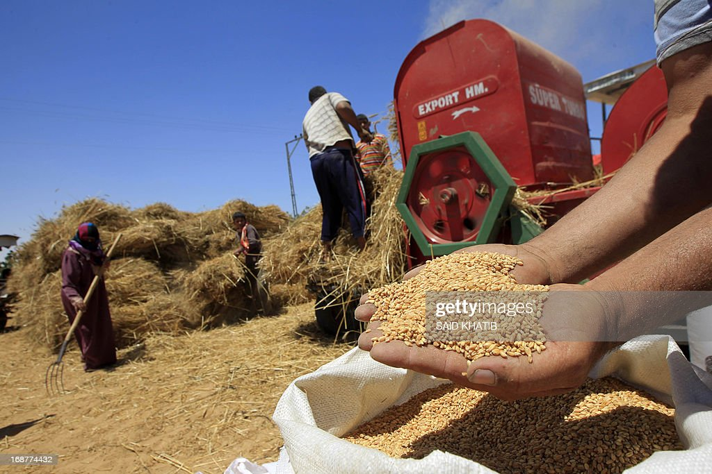 A Palestinian man shows a handfull of wheat freshly gathered and threshed by members of his family as their field is harvested outside the Khan Yunis refugee camp in the southern Gaza Strip on May 15, 2013.